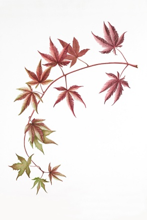 Japanese Maple_Kopka_watercolor_1998